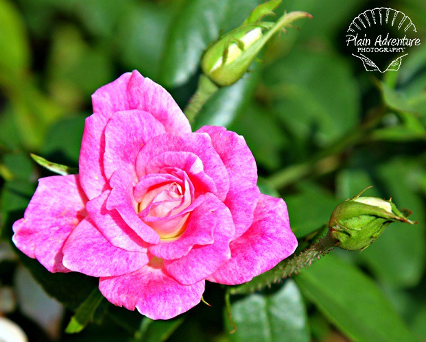 Flora Photography Number 9 - Pink Rose