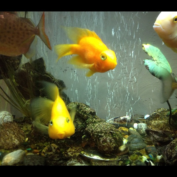 My cute little kissy lipped freshwater parrot fish these for Parrot fish freshwater