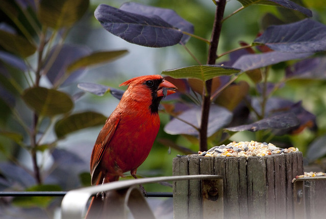 cardinal munching