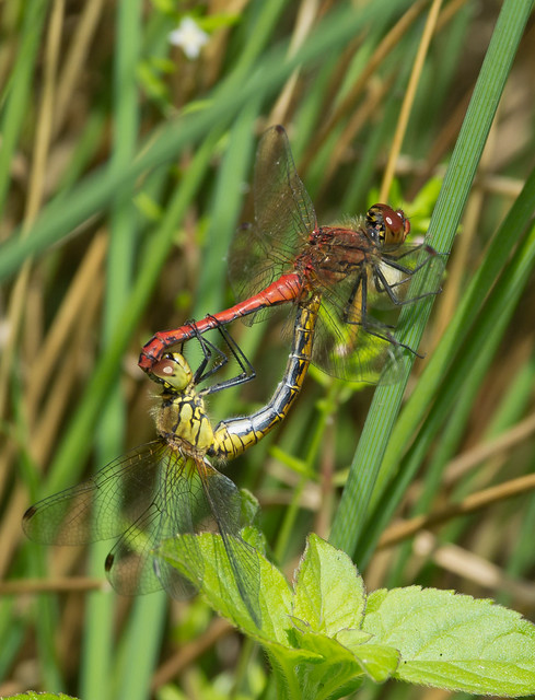 ruddy darter mating pair 2