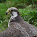Small photo of Lanner Falon cute on the grass