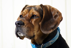 hound(0.0), broholmer(0.0), puppy(0.0), dog breed(1.0), animal(1.0), dog(1.0), tosa(1.0), pet(1.0), mammal(1.0),