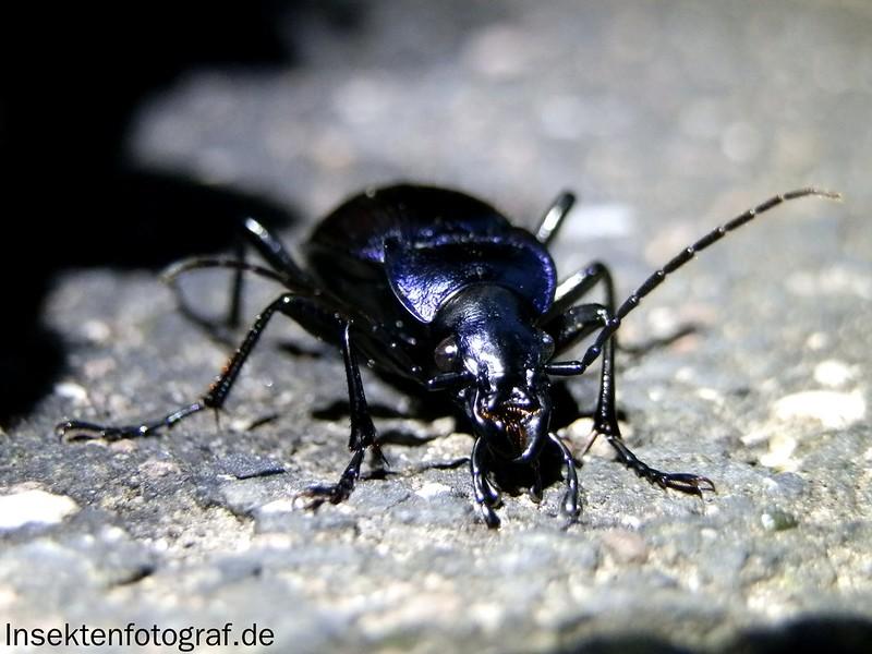 Blauvioletter Waldlaufkäfer (Carabus problematicus)