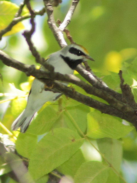Golden-winged Warbler 20120906