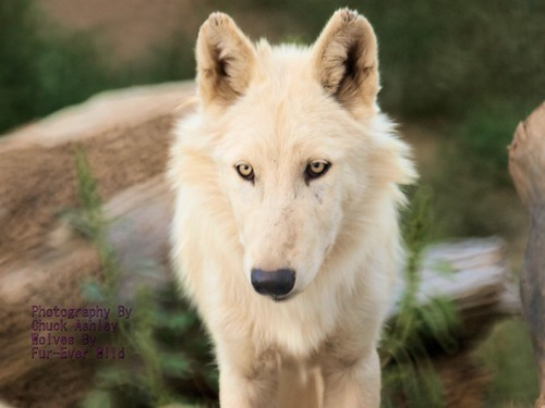 2012-09-07 Fur-Ever Wild White Phase Wolf Pup-W 358 by puckster55pics