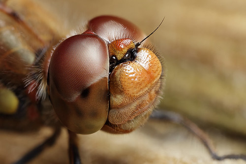 Darter dragonfly closeup