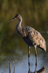 Sandhill Crane_1289.jpg by Mully410 * Images