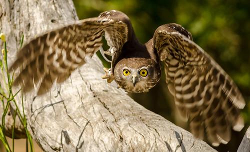 [フリー画像素材] 動物 2, フクロウ, オーストラリアアオバズク, 鳥類 - 飛ぶ ID:201209260400