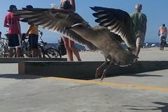 Torrance Seagull 01