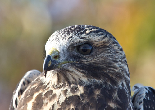 Hawk Ridge's Second-ever Banded Swainson's Hawk