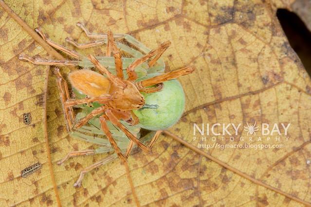 Huntsman Spiders (Sparassidae) - DSC_3667
