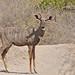 Lesser Kudu (Tim Melling)