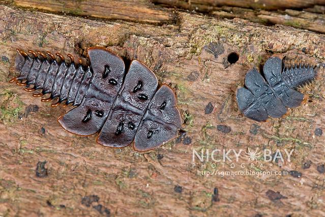 Trilobite Beetles (Duliticola hoseini) - DSC_1811