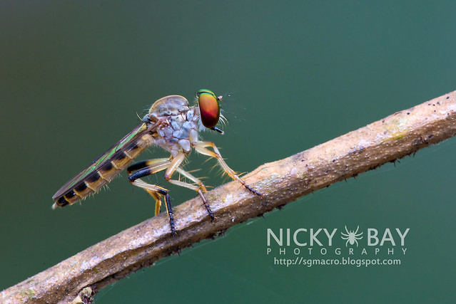 Robberfly (Asilidae) - DSC_0544