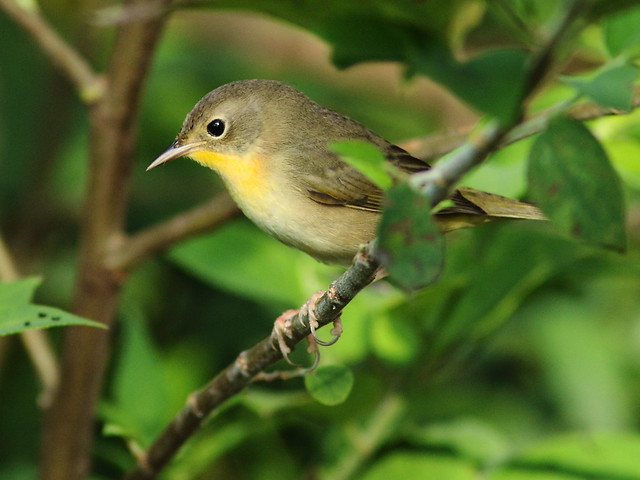 Common Yellowthroat 2-20120920