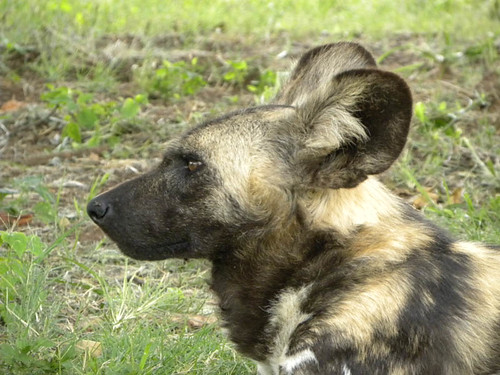 Wildehond / Cape Wild Dog