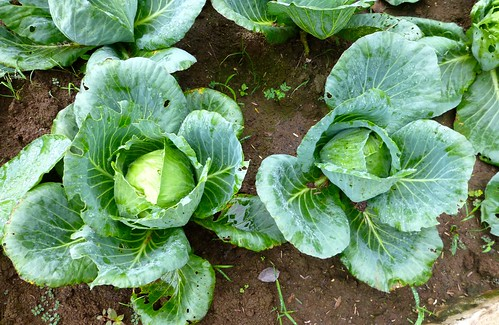 cabbage in vegetable garden