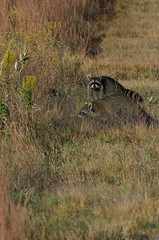 Racoons_2883.jpg by Mully410 * Images