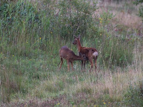 Roe deer-mating behaviour_4