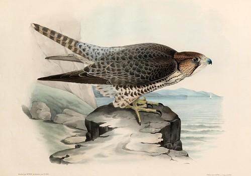 011- El Lanier Hagard- Traité de fauconnerie..1853- Hermann Schlegel- Universität Düsseldorf