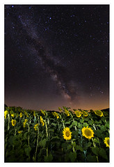 Sunflowers and the Milky Way, Ancramdale, NY