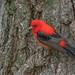 Scarlet Tanager by Joe Branco