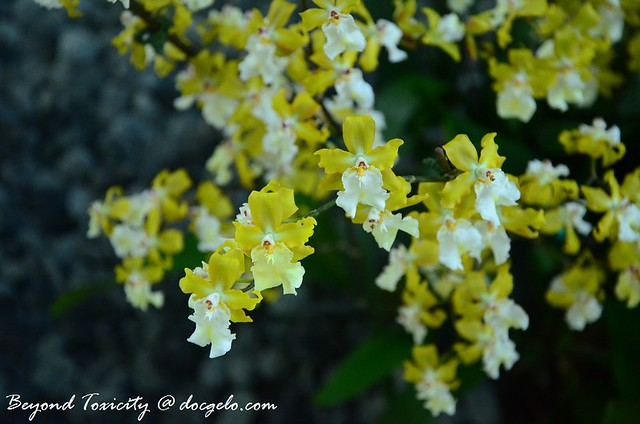 yellow little orchids