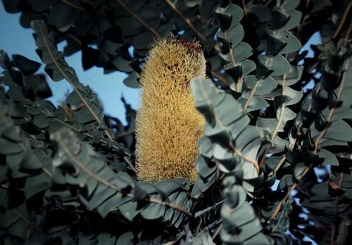 Banksia grandis (Bull Banksia)