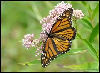 Monarch Monday...