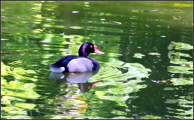 florida ducks | Flickr - Photo Sharing!