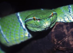 Sulawesi Keeled Green Pit Viper (Tropidolaemus subannulatus)