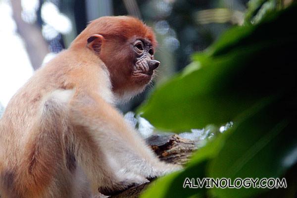 A baby proboscis monkey