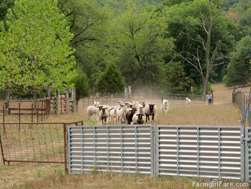 (23-4) Heading into the barn for another sheep working Sunday - FarmgirlFare.com