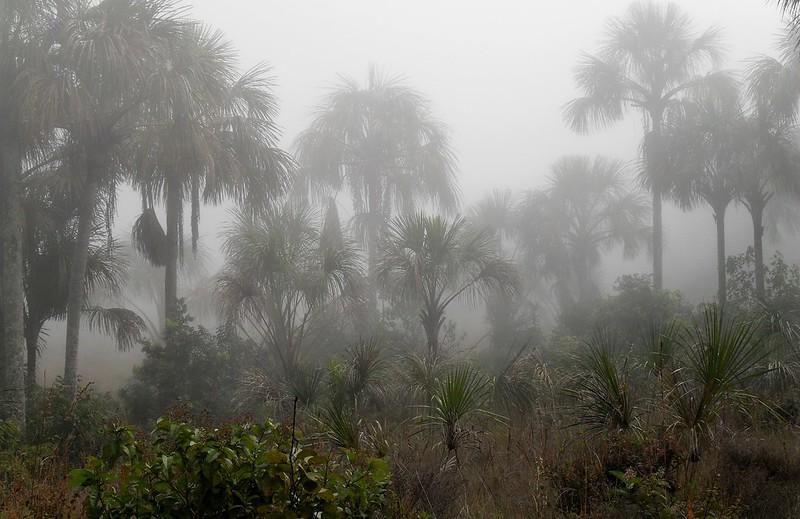 Buritis in the Fog, Chapada dos Guimaraes