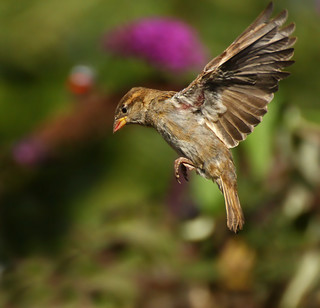 Female House Sparrow - Passer domesticus