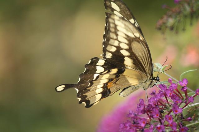 Giant Swallowtail2