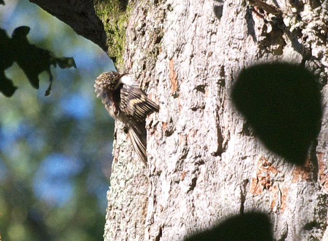 DSC_4442 Treecreeper