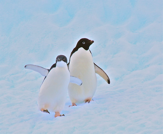 Adele penguins out for a walk