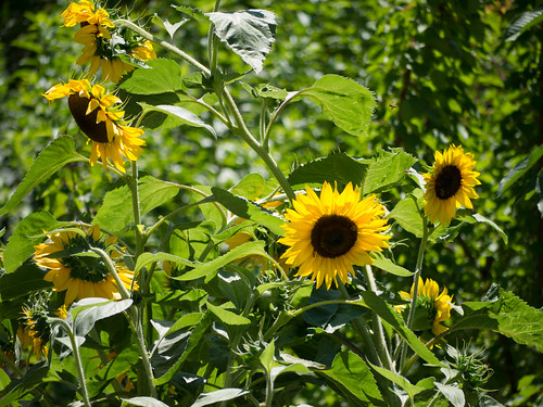 Beautiful sunflowers in the garden