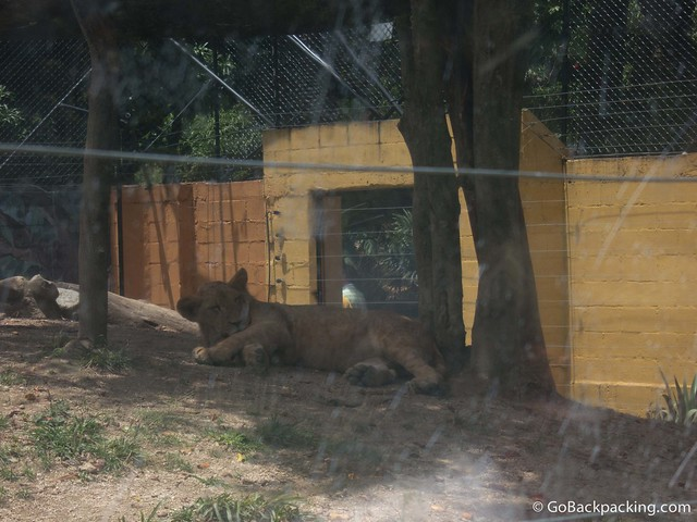 Lion cub enclosure