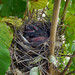 2012-08-19 - Baby Birds, Growing Up - 0004