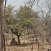 Trees in Nigeria - IMG_2353_CR2_v1