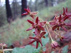 Asclepias hypoleuca, Mahogany Milkweed