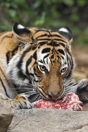 Tiger dinner