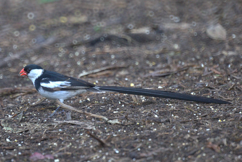 Pin-tailed Whydah (male)