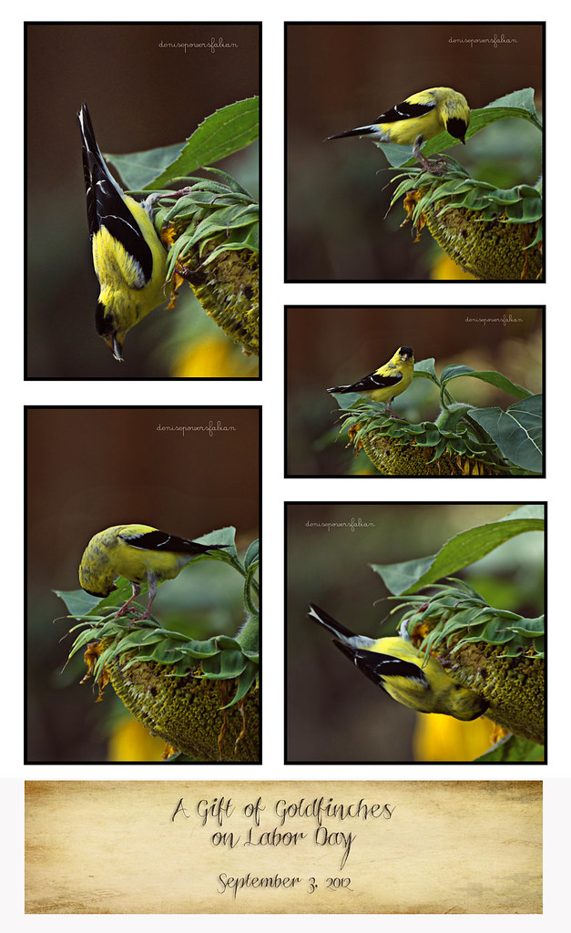Gift of Goldfinches on Labor Day