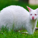 White kangaroo again...