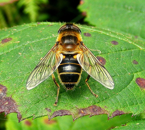 Fuji FinePix S5800-S800.Super Macro.Drone Fly On A Bramble Leaf.September 4th 2012.
