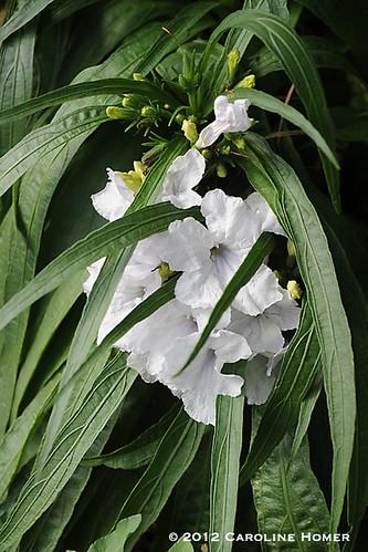 Dwarf ruellia (Mexican petunia)