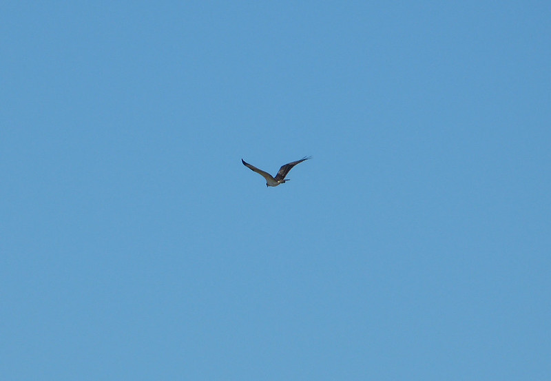 Osprey, Oare Marshes